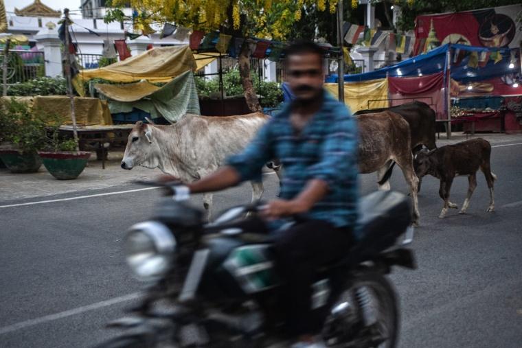 India, BODH GAYA: Cows and the city