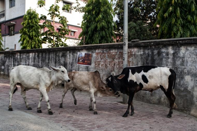 India, BODH GAYA: Quello che le guide non dicono (e l'ebbrezza di trovarsi in mezzo ad un litigio tra vacche)