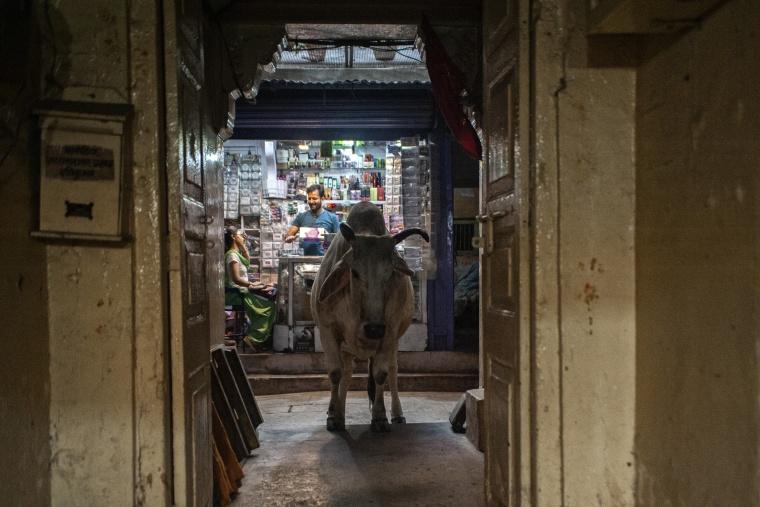 India, VARANASI: Perché noi valiamo (giusto per ribadire che qui le vacche fanno un po' quello che vogliono)