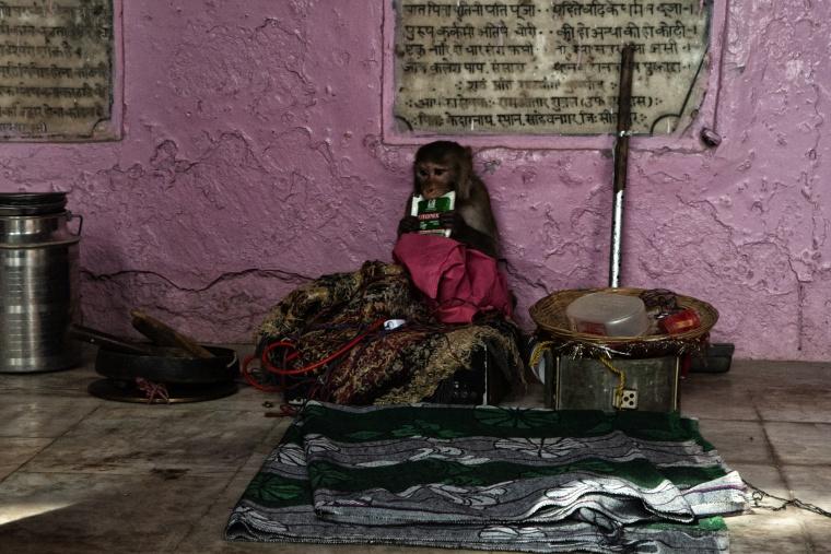 India, MATHURA: Scimmie, scimmie ovunque