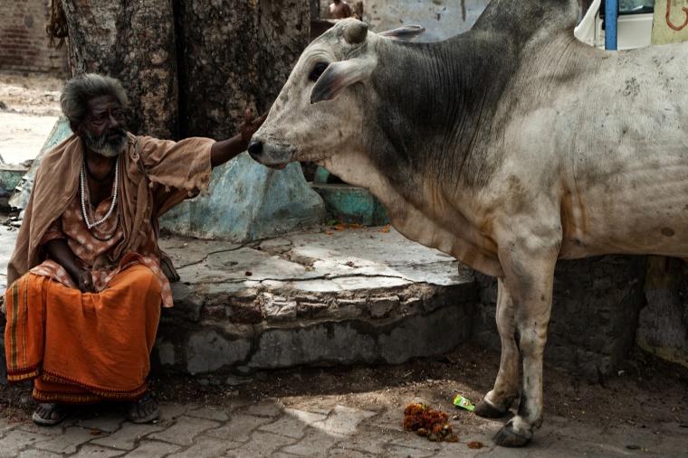 India, VRINDAVAN: Stavo per schiaffeggiare una mucca...