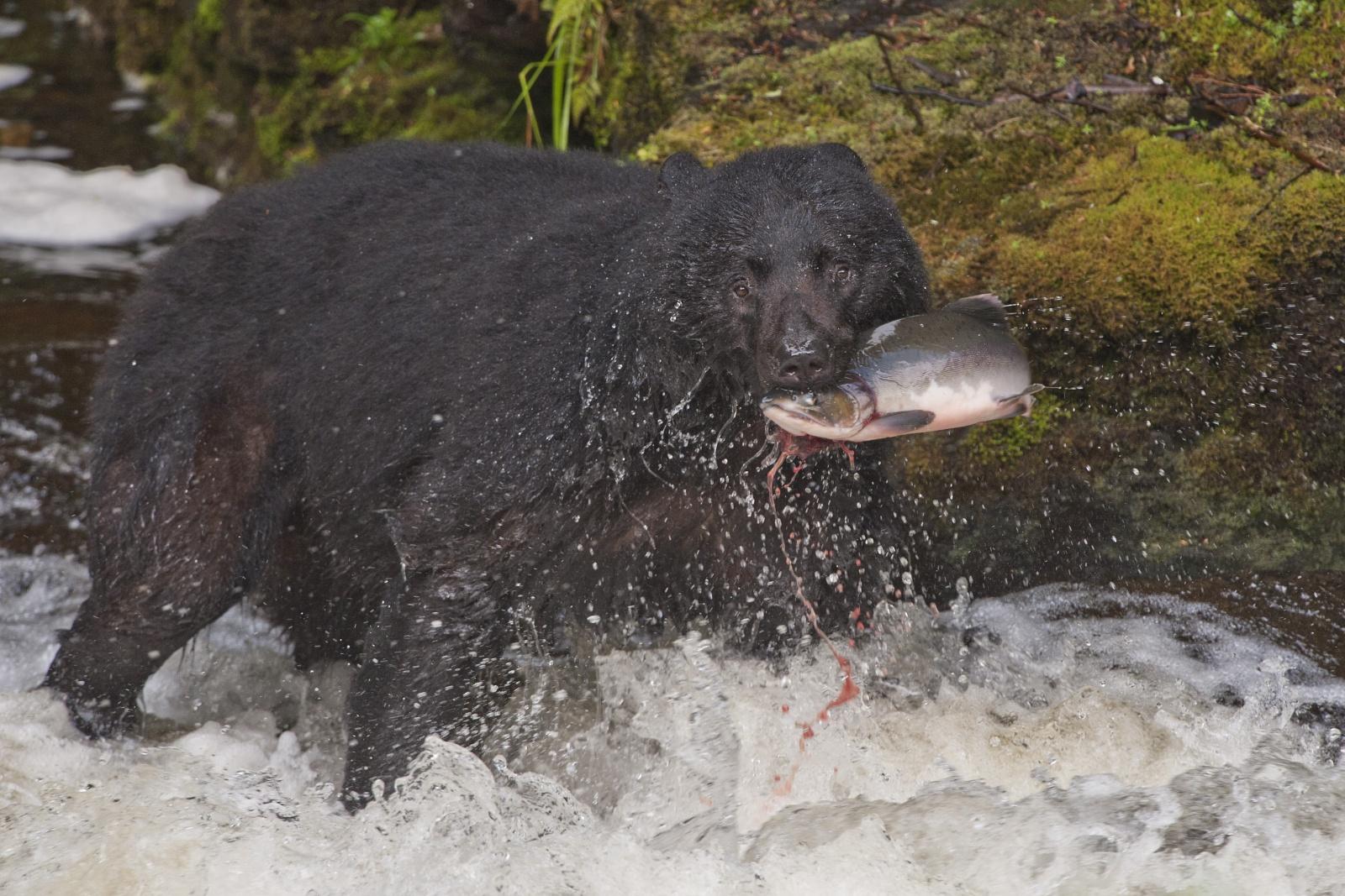 Nice Catch - Scatto finalista concorso GEO 2011  Un orso nero ha appena pescato un salmone nelle acque di un torrente all'isola di Prince of Wales in Alaska